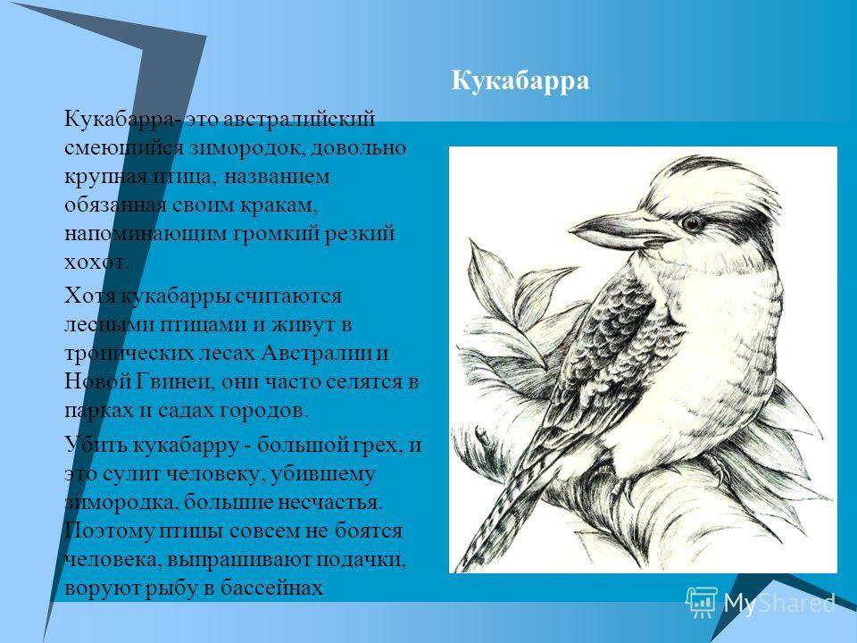 Кукабарра Кукабарра- это австралийский смеющийся зимородок, довольно крупная птица, названием обязанная своим кракам, напоминающим громкий резкий хохот. Хотя кукабарры считаются лесными птицами и живут в тропических лесах Австралии и Новой Гвинеи, он