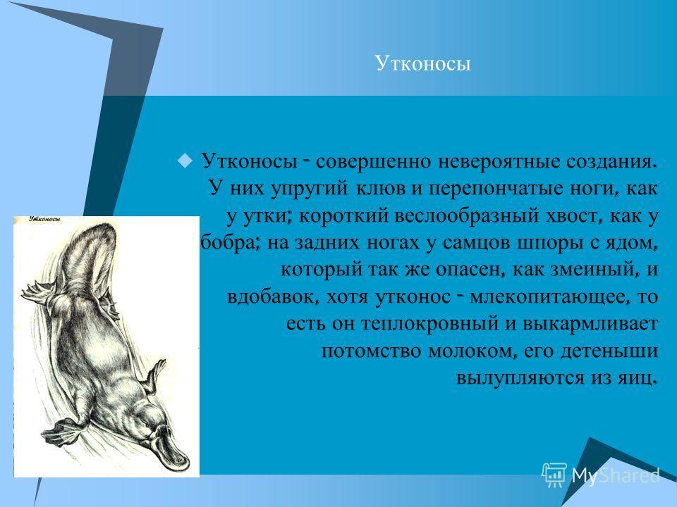 Утконосы Утконосы - совершенно невероятные создания. У них упругий клюв и перепончатые ноги, как у утки ; короткий веслообразный хвост, как у бобра ; на задних ногах у самцов шпоры с ядом, который так же опасен, как змеиный, и вдобавок, хотя утконос