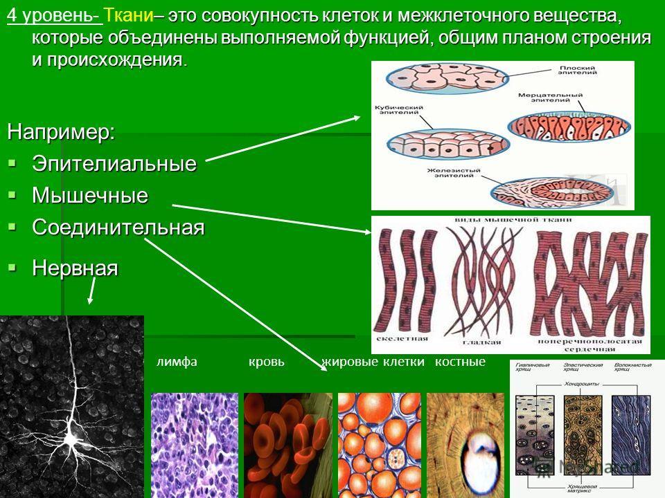 – это совокупность клеток и межклеточного вещества, которые объединены выполняемой функцией, общим планом строения и происхождения. 4 уровень- Ткани– это совокупность клеток и межклеточного вещества, которые объединены выполняемой функцией, общим пла