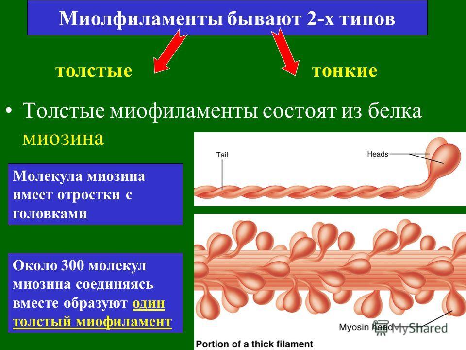 Миофиблиллы Каждое мышечное волокно содержит удлиненные структуры, называемые миофибриллы, которые простираются на всю длину клетки. Каждая миофибрилла состоит из 2500 протофибрилл или миофиламентов. Это нити сократительных белков актина и миозина.