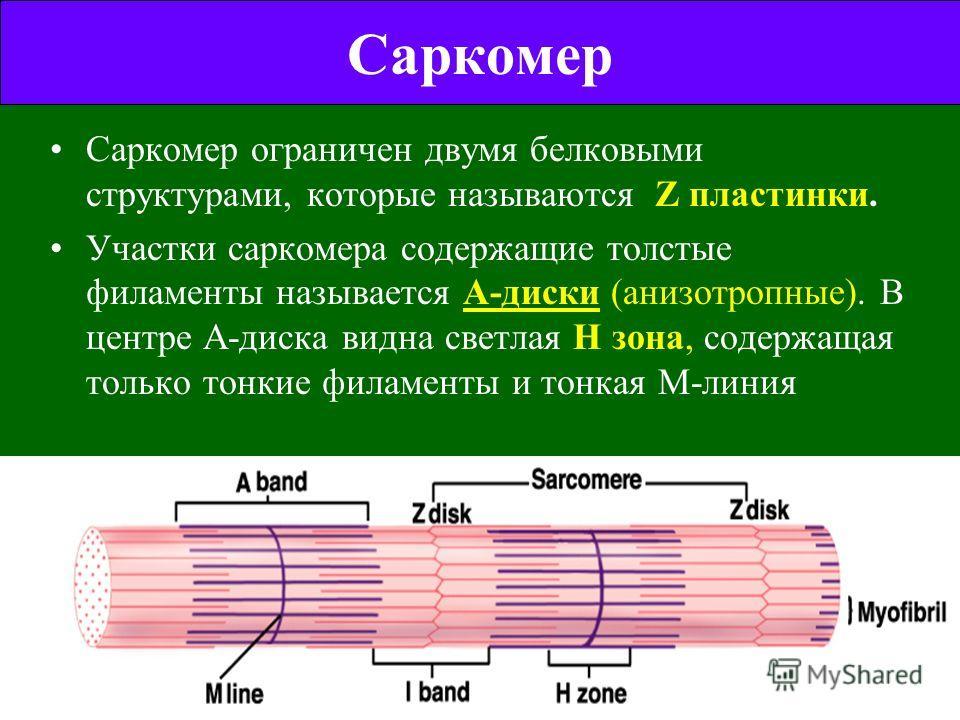 Миофибриллы Каждая миофибрилла состоит из тысяч повторяющихся участков, которые называются саркомер (на рис. внизу) Каждай саркомер содержит тонкие и толстые филаменты –Участки только тонких филаментов (розовые нити) –Участки только толстых филаменто