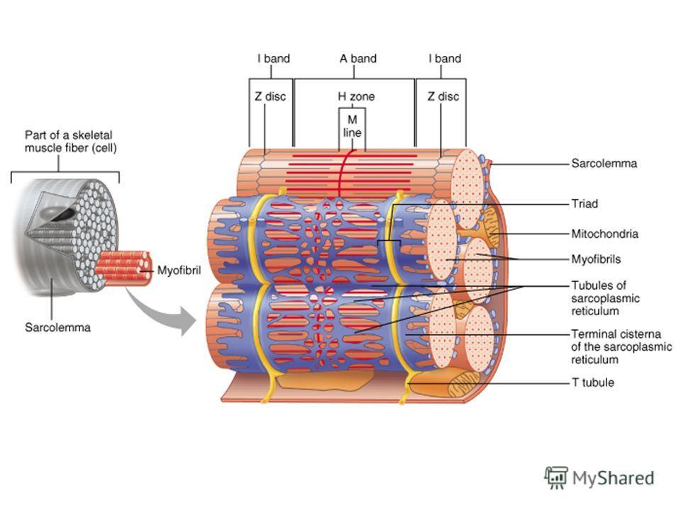 Т-трубочки и СР В каждом мышечном волокне есть система T- трубочек, цистерн и продольных трубочек Каждая Т-трубочка окружена терминальными цистернами, образуя т.н. триаду, состоящую из 2 цистерн и одной Т-трубочки
