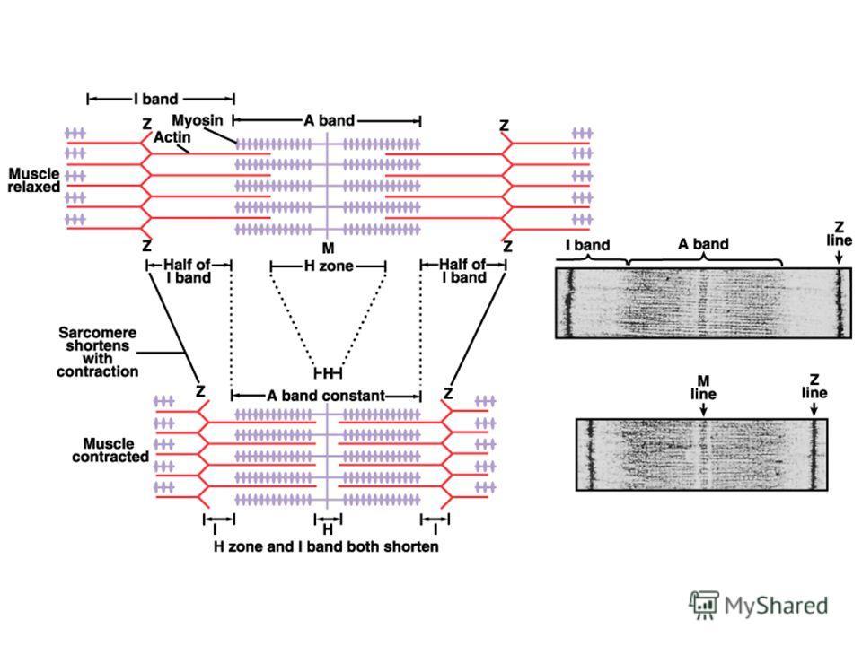 Электронно-микроскопическая фотография саркомера до и после сокращения.