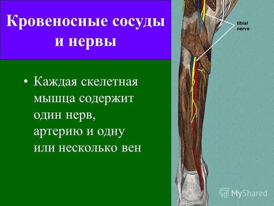 Скелетная мышца как орган В скелетной мышце преобладает мышечная ткань, но также находятся нервы, сосуды и соединительная ткань разных типов. Целая мышца окружена слоем плотной соединительной ткани