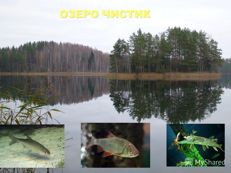 Озеро термокарстовое. Максимальная глубина 23, 5 м. Принадлежит бассейну реки Межи. Соединено протокой с озером Сапшо. ОЗЕРО ЧИСТИК