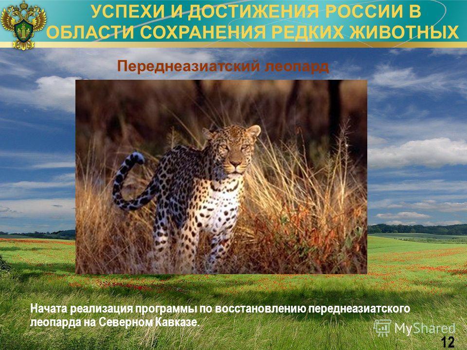 УСПЕХИ И ДОСТИЖЕНИЯ РОССИИ В ОБЛАСТИ СОХРАНЕНИЯ РЕДКИХ ЖИВОТНЫХ 12 Переднеазиатский леопард Начата реализация программы по восстановлению переднеазиатского леопарда на Северном Кавказе.