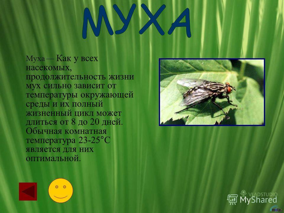 Муха Как у всех насекомых, продолжительность жизни мух сильно зависит от температуры окружающей среды и их полный жизненный цикл может длиться от 8 до 20 дней. Обычная комнатная температура 23-25°С является для них оптимальной.