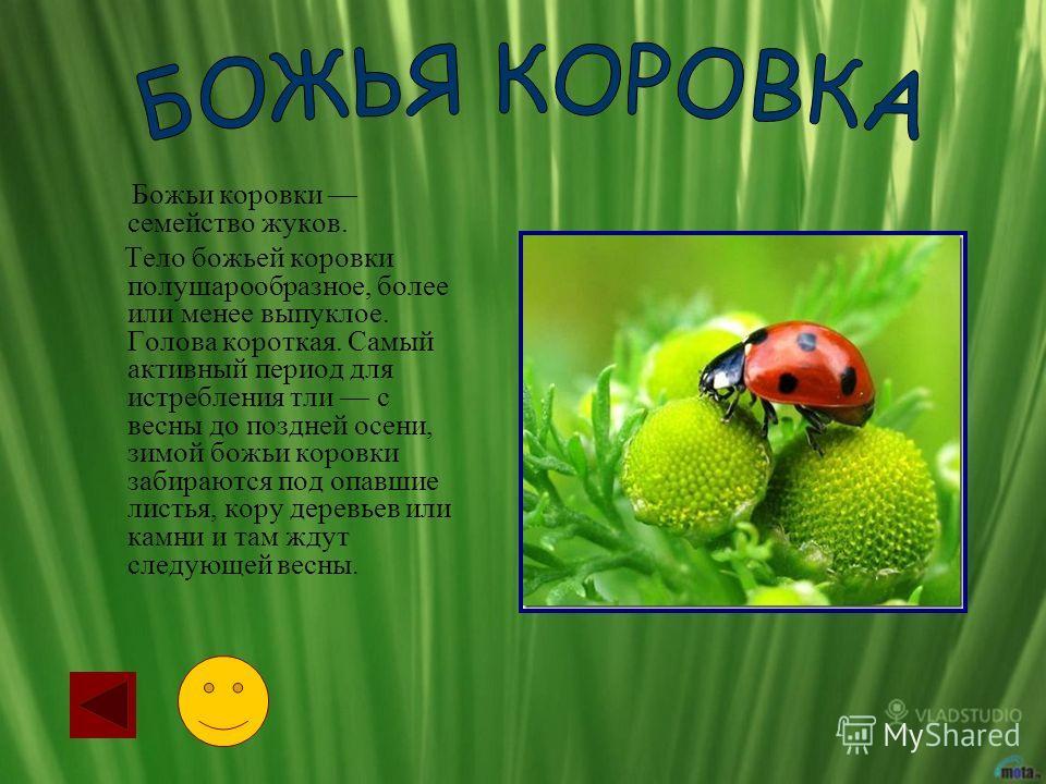 Божьи коровки семейство жуков. Тело божьей коровки полушарообразное, более или менее выпуклое. Голова короткая. Самый активный период для истребления тли с весны до поздней осени, зимой божьи коровки забираются под опавшие листья, кору деревьев или к