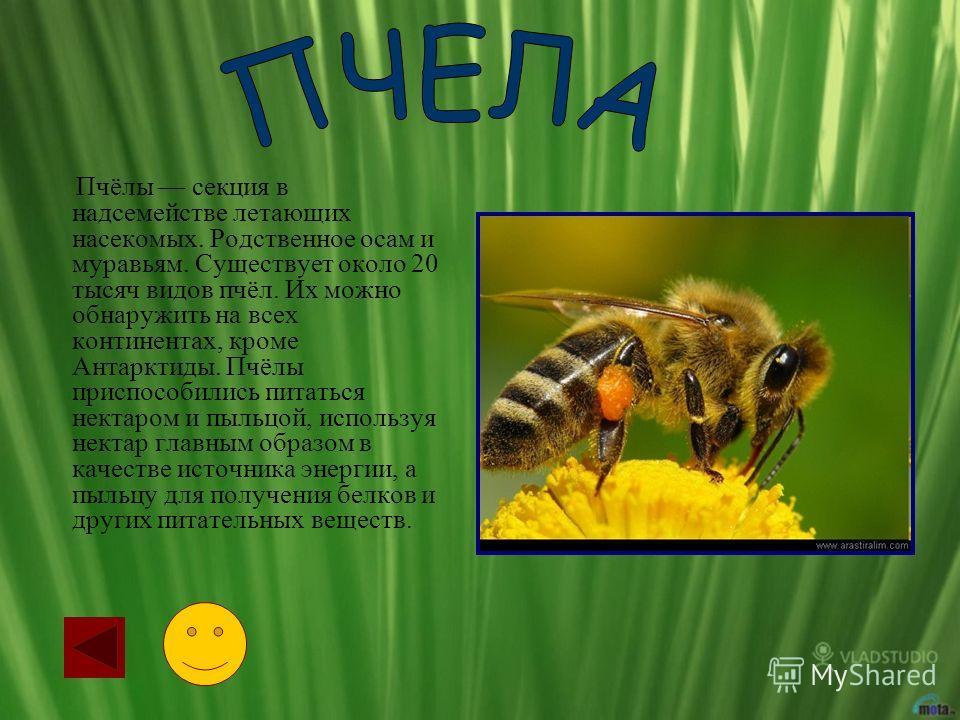 Пчёлы секция в надсемействе летающих насекомых. Родственное осам и муравьям. Существует около 20 тысяч видов пчёл. Их можно обнаружить на всех континентах, кроме Антарктиды. Пчёлы приспособились питаться нектаром и пыльцой, используя нектар главным о