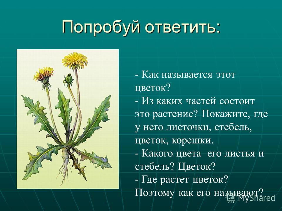 Попробуй ответить: - Как называется этот цветок? - Из каких частей состоит это растение? Покажите, где у него листочки, стебель, цветок, корешки. - Какого цвета его листья и стебель? Цветок? - Где растет цветок? Поэтому как его называют?