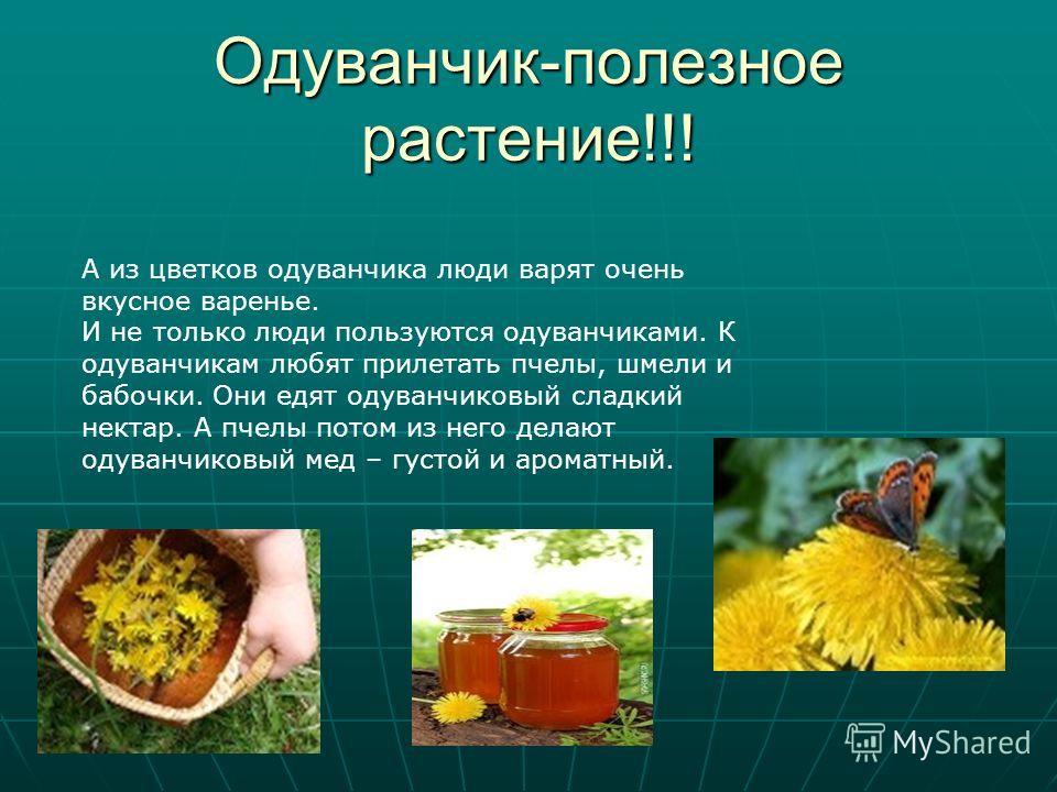 Одуванчик-полезное растение!!! А из цветков одуванчика люди варят очень вкусное варенье. И не только люди пользуются одуванчиками. К одуванчикам любят прилетать пчелы, шмели и бабочки. Они едят одуванчиковый сладкий нектар. А пчелы потом из него дела