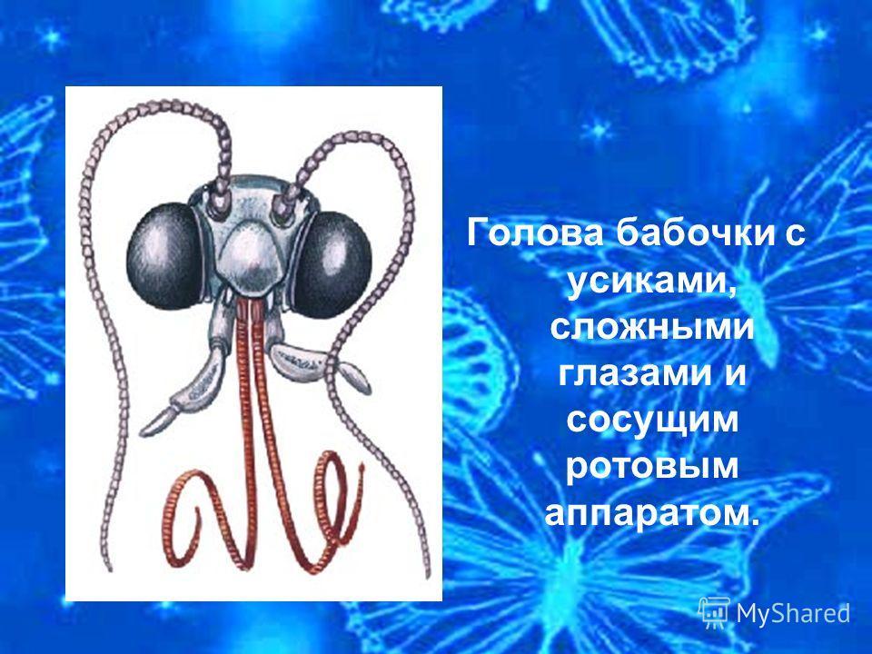 Голова бабочки с усиками, сложными глазами и сосущим ротовым аппаратом.