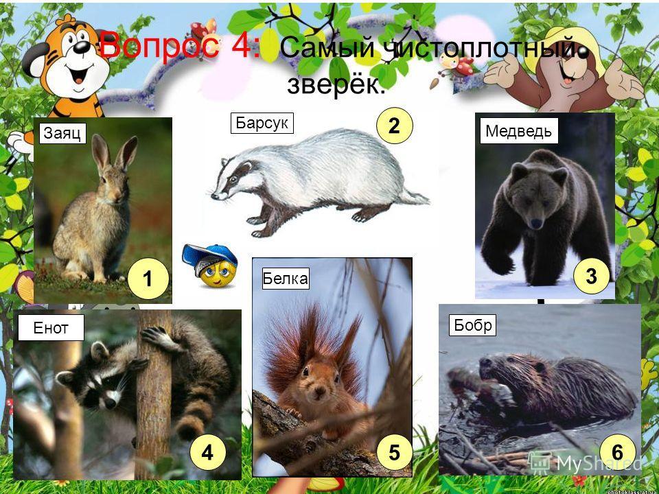 Вопрос 4: Самый чистоплотный зверёк. 1 2 3 45 6 Енот Медведь Заяц Барсук Белка Бобр