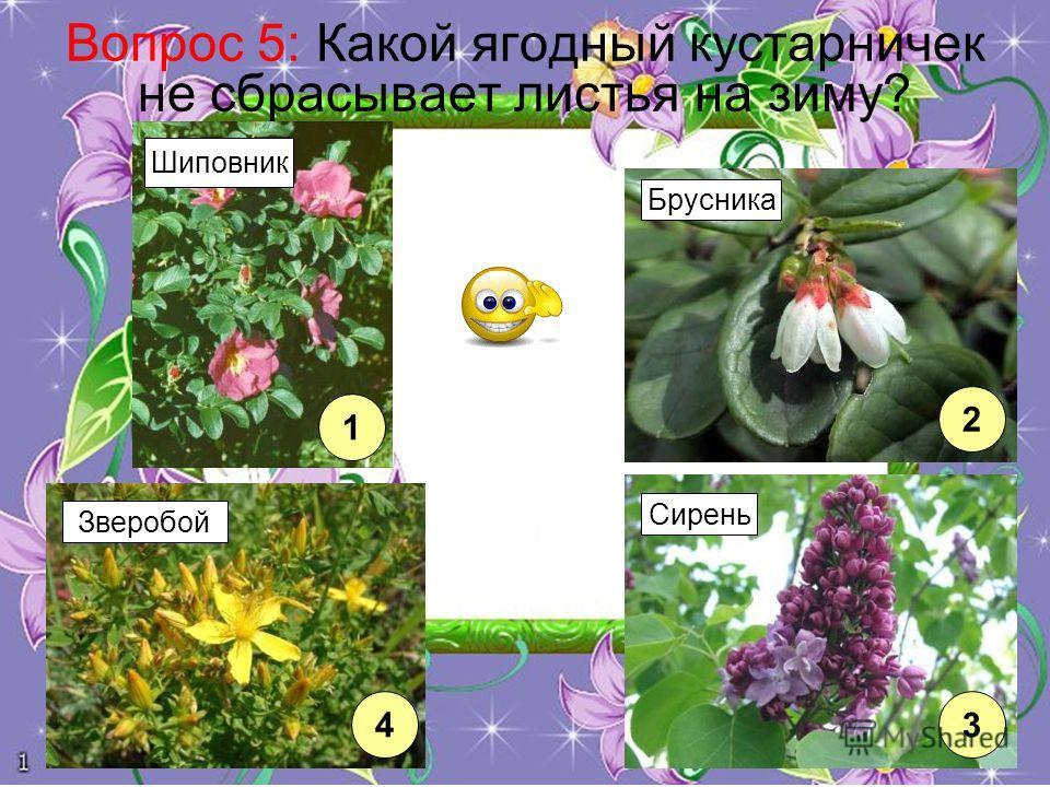 Вопрос 5: Какой ягодный кустарничек не сбрасывает листья на зиму? 1 4 2 3 Шиповник Зверобой Брусника Сирень