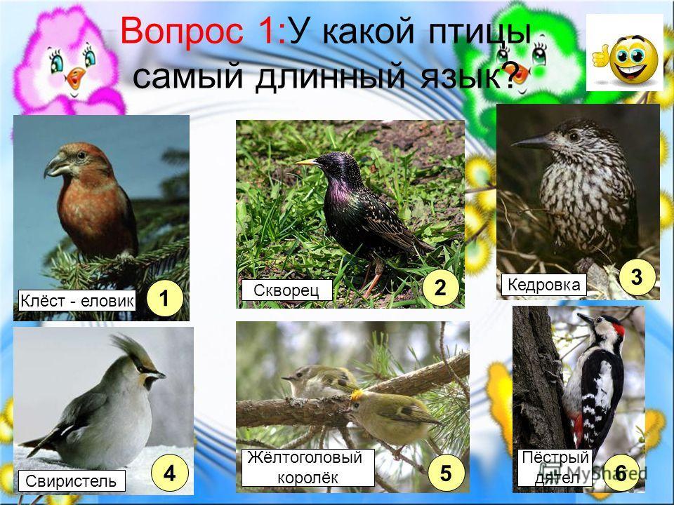 Вопрос 1:У какой птицы самый длинный язык? 1 2 45 3 6 Клёст - еловик Свиристель Жёлтоголовый королёк Пёстрый дятел Кедровка Скворец