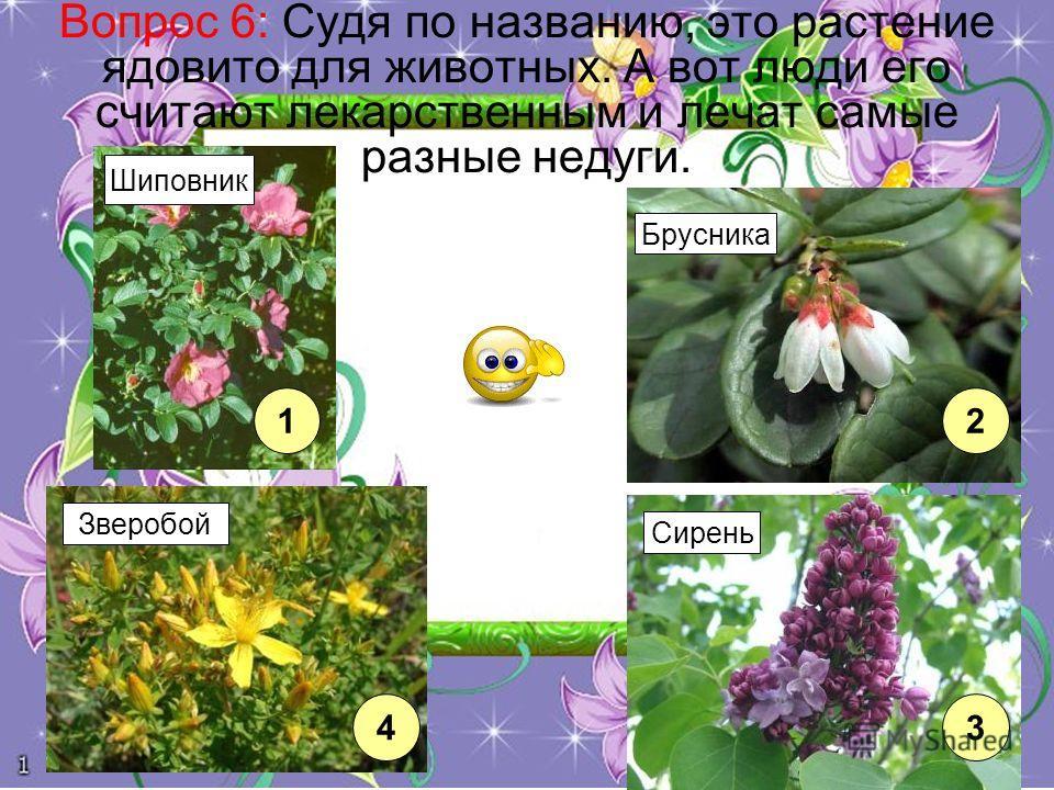 Вопрос 6: Судя по названию, это растение ядовито для животных. А вот люди его считают лекарственным и лечат самые разные недуги. 12 43 Шиповник Брусника Зверобой Сирень