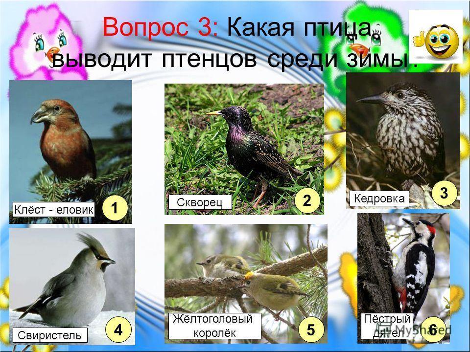Вопрос 3: Какая птица выводит птенцов среди зимы? 1 2 45 3 6 Клёст - еловик Свиристель Жёлтоголовый королёк Пёстрый дятел Кедровка Скворец