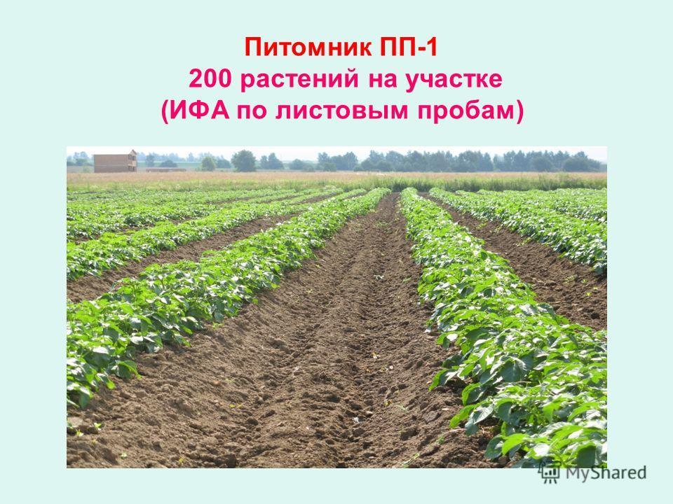 Питомник ПП-1 200 растений на участке (ИФА по листовым пробам)