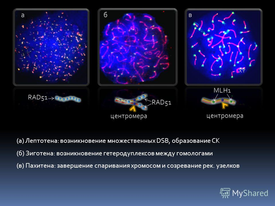 (а) Лептотена: возникновение множественных DSB, образование СК (б) Зиготена: возникновение гетеродуплексов между гомологами (в) Пахитена: завершение спаривания хромосом и созревание рек. узелков