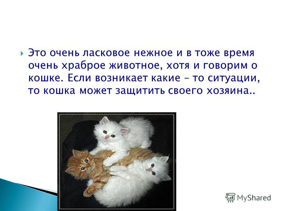 Это очень ласковое нежное и в тоже время очень храброе животное, хотя и говорим о кошке. Если возникает какие – то ситуации, то кошка может защитить своего хозяина..