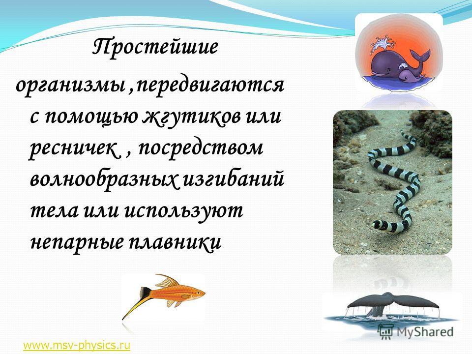 Простейшие организмы,передвигаются с помощью жгутиков или ресничек, посредством волнообразных изгибаний тела или используют непарные плавники www.msv-physics.ru