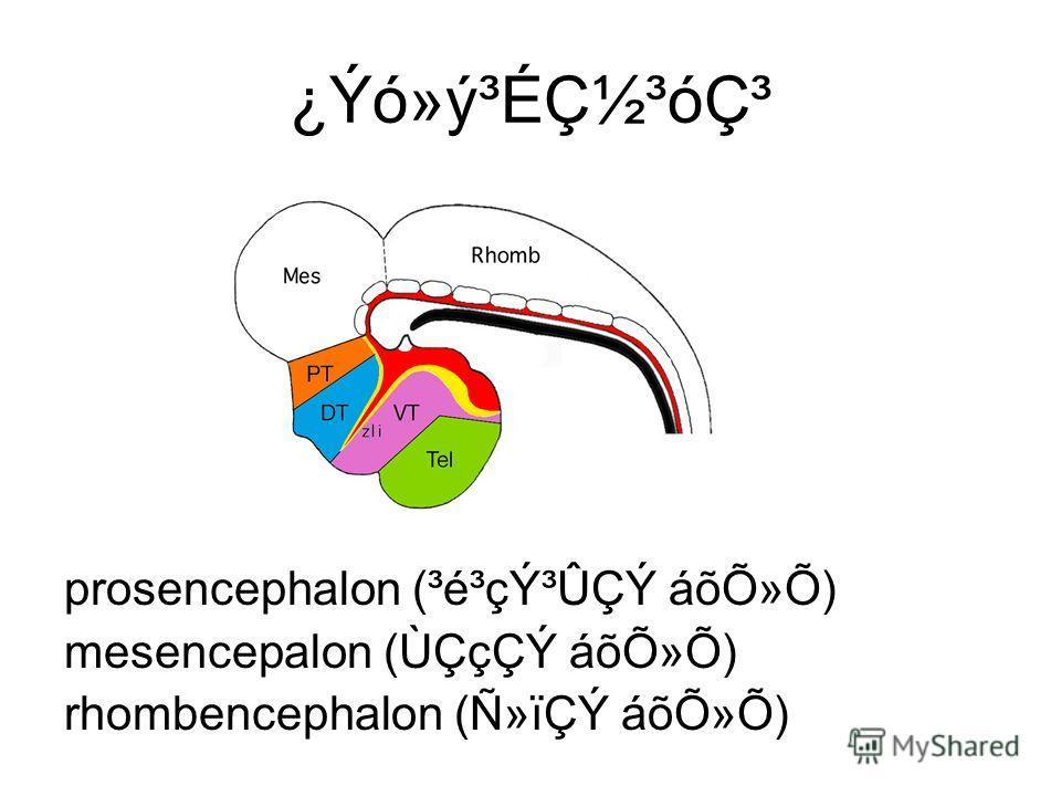 ¿Ýó»ý³Éǽ³ódz prosencephalon (³é³çݳÛÇÝ áõÕ»Õ) mesencepalon (ÙÇçÇÝ áõÕ»Õ) rhombencephalon (Ñ»ïÇÝ áõÕ»Õ)