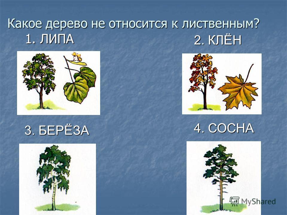 Какое дерево не относится к лиственным? 1. ЛИПА 1. ЛИПА 2. КЛЁН 3. БЕРЁЗА 4. СОСНА
