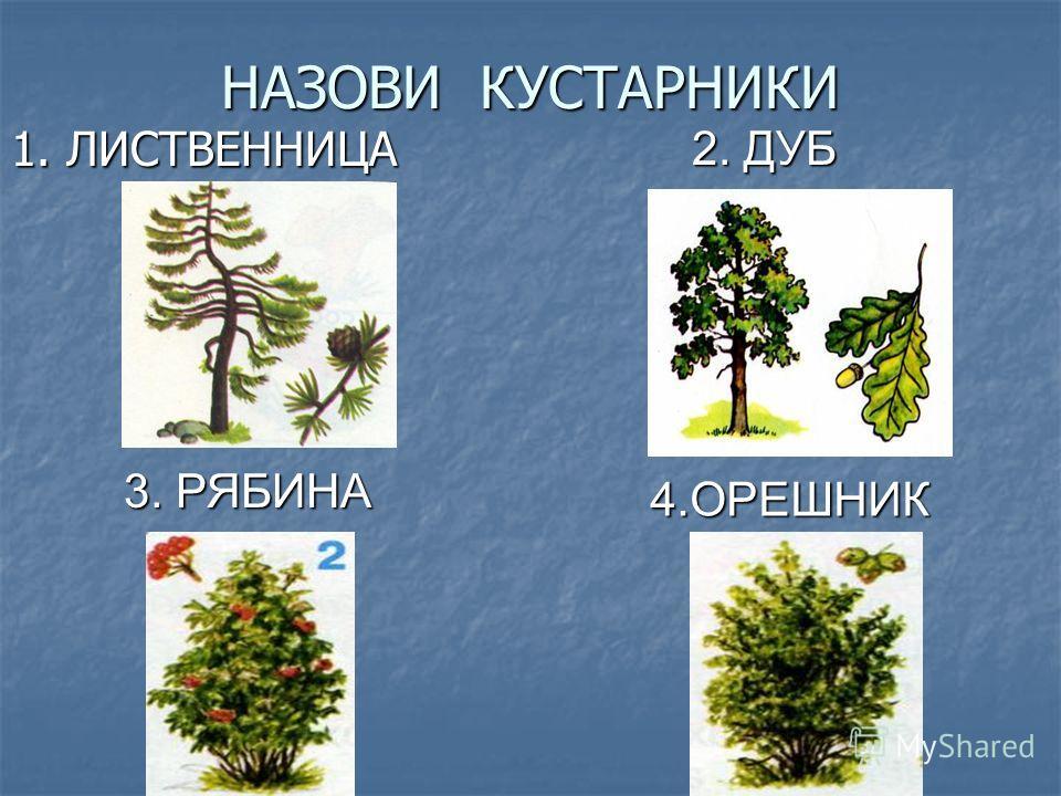 НАЗОВИ КУСТАРНИКИ 1. ЛИСТВЕННИЦА 2. ДУБ 3. РЯБИНА 4.ОРЕШНИК