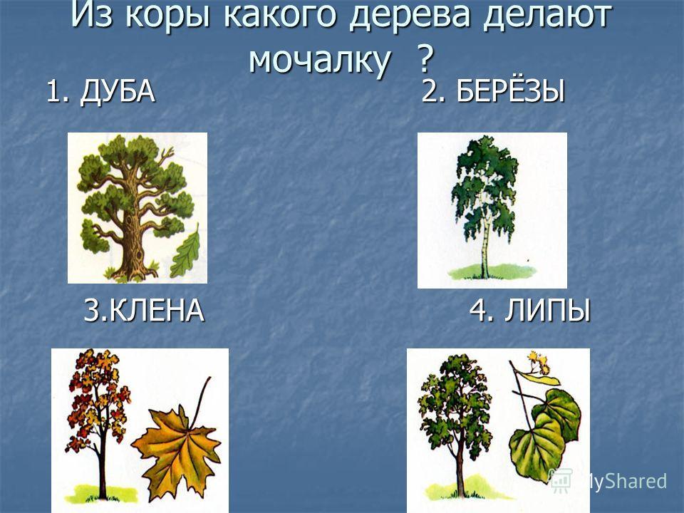 Из коры какого дерева делают мочалку ? 1. ДУБА 2. БЕРЁЗЫ 1. ДУБА 2. БЕРЁЗЫ 3.КЛЕНА 4. ЛИПЫ 3.КЛЕНА 4. ЛИПЫ