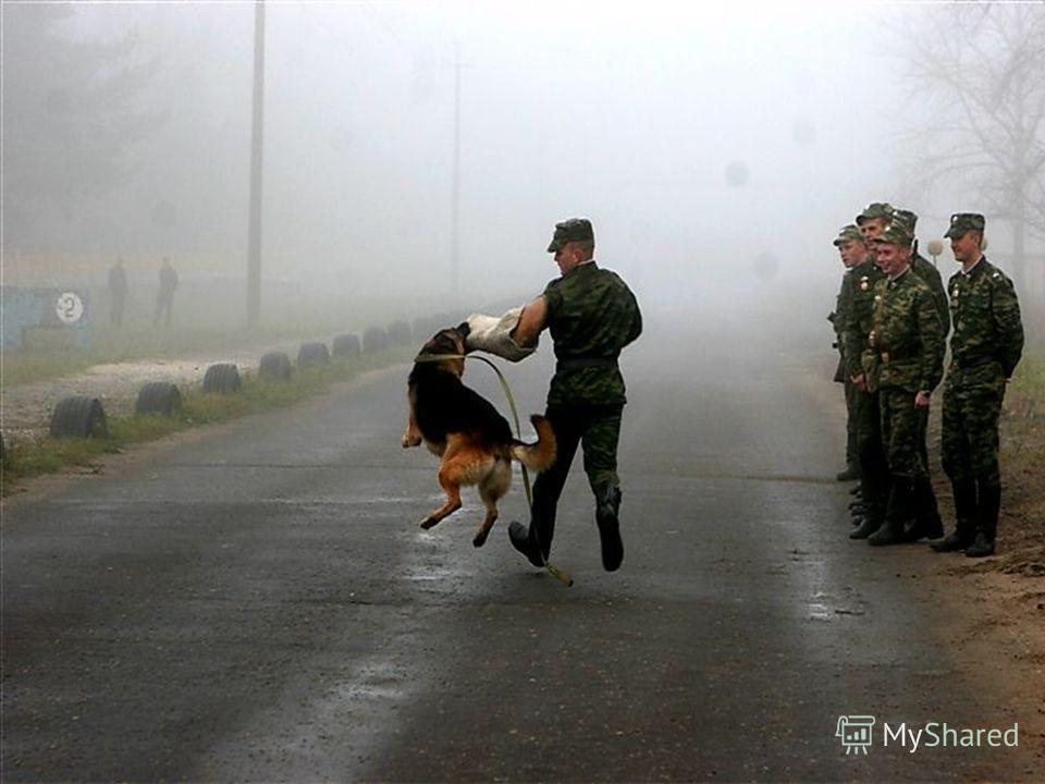 Широко применялись служебные собаки и в службах связи, и для доставки раненых с позиций.