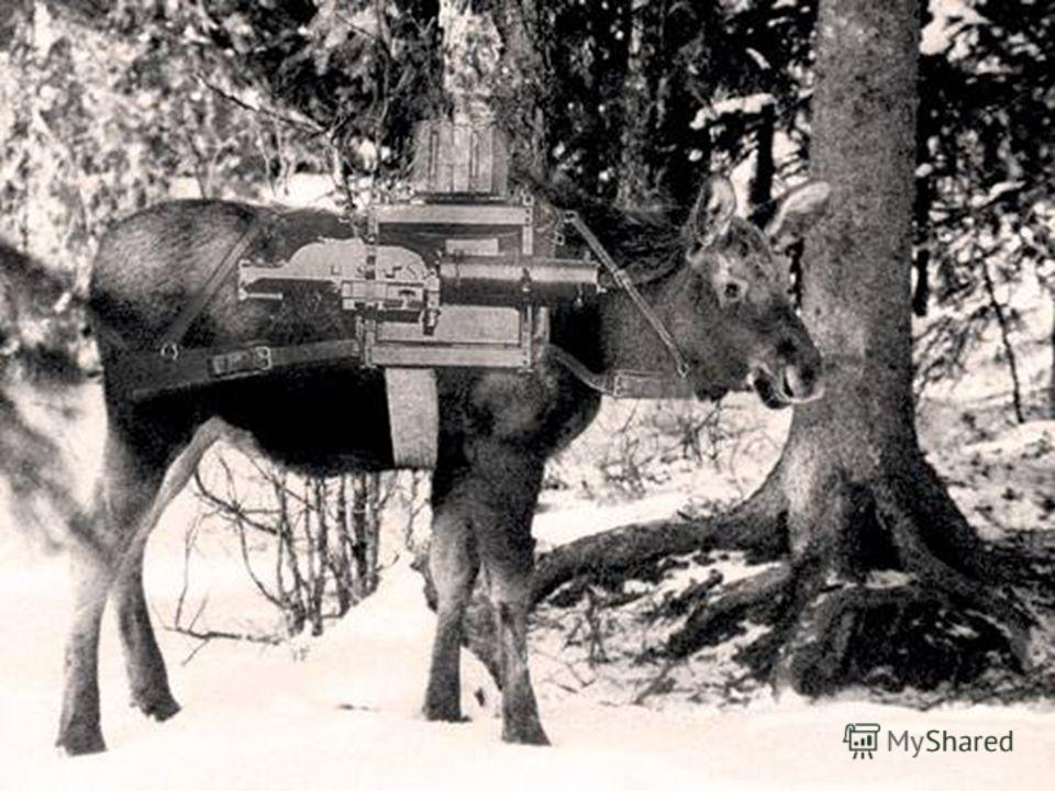 Для подготовки лосей была создана специальная группа. Лосей объезжали и приучали к выстрелам. Большого распространения применение в военных целях лоси не получили.