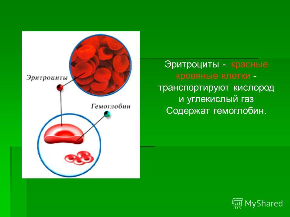 Эритроциты - красные кровяные клетки - транспортируют кислород и углекислый газ Содержат гемоглобин.