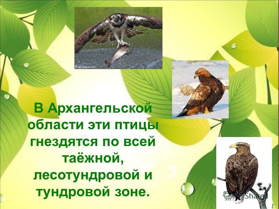 В Архангельской области эти птицы гнездятся по всей таёжной, лесотундровой и тундровой зоне.