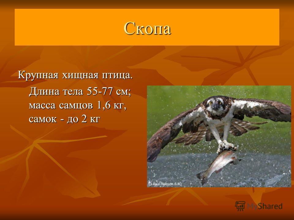 Крупная хищная птица. Длина тела 55-77 см; масса самцов 1,6 кг, самок - до 2 кг Длина тела 55-77 см; масса самцов 1,6 кг, самок - до 2 кг Скопа