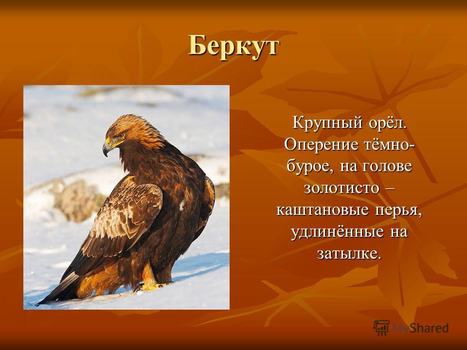 Беркут Крупный орёл. Оперение тёмно- бурое, на голове золотисто – каштановые перья, удлинённые на затылке. Крупный орёл. Оперение тёмно- бурое, на голове золотисто – каштановые перья, удлинённые на затылке.
