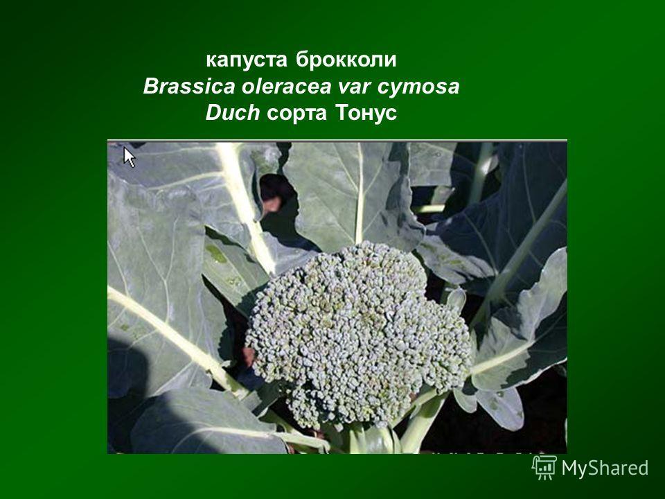 капуста брокколи Brassica oleracea var cymosa Duch сорта Тонус