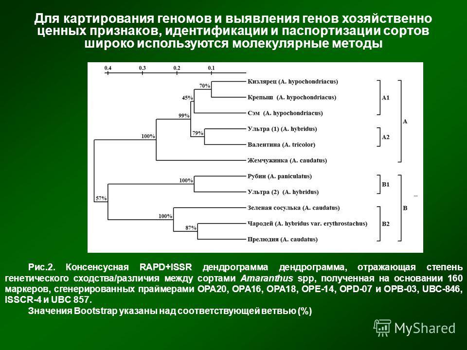 Рис.2. Консенсусная RAPD+ISSR дендрограмма дендрограмма, отражающая степень генетического сходства/различия между сортами Amaranthus spp, полученная на основании 160 маркеров, сгенерированных праймерами OPA20, OPA16, OPA18, OPE-14, OPD-07 и OPB-03, U