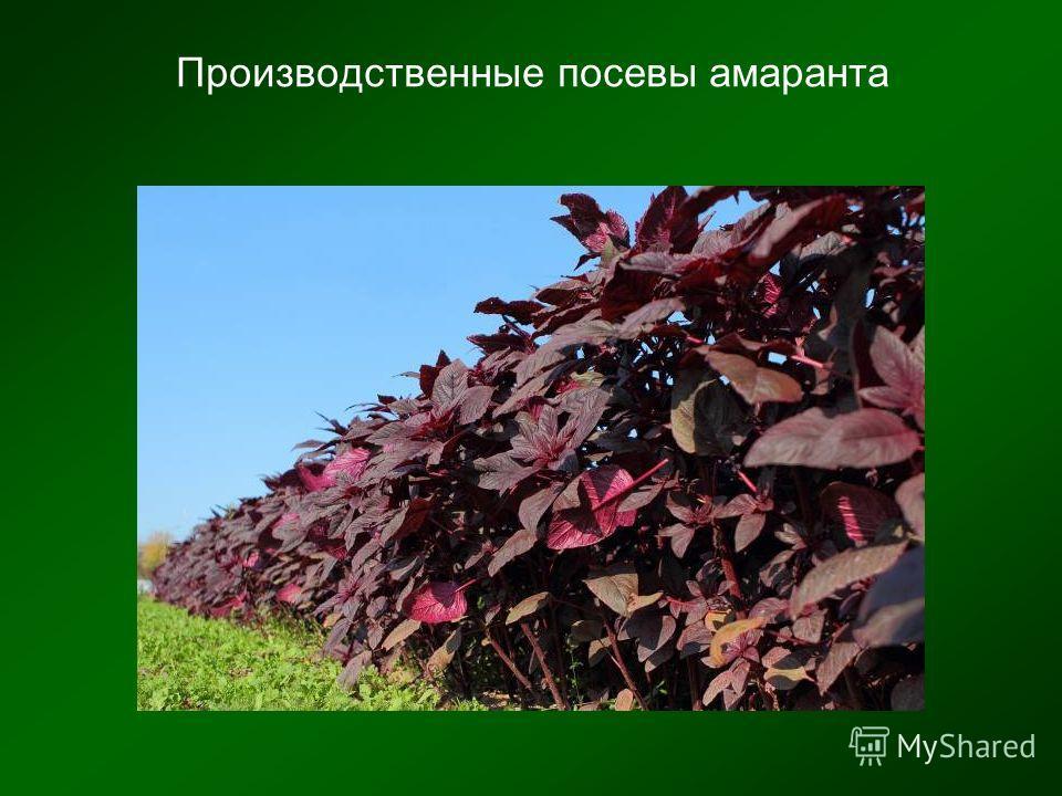 Производственные посевы амаранта