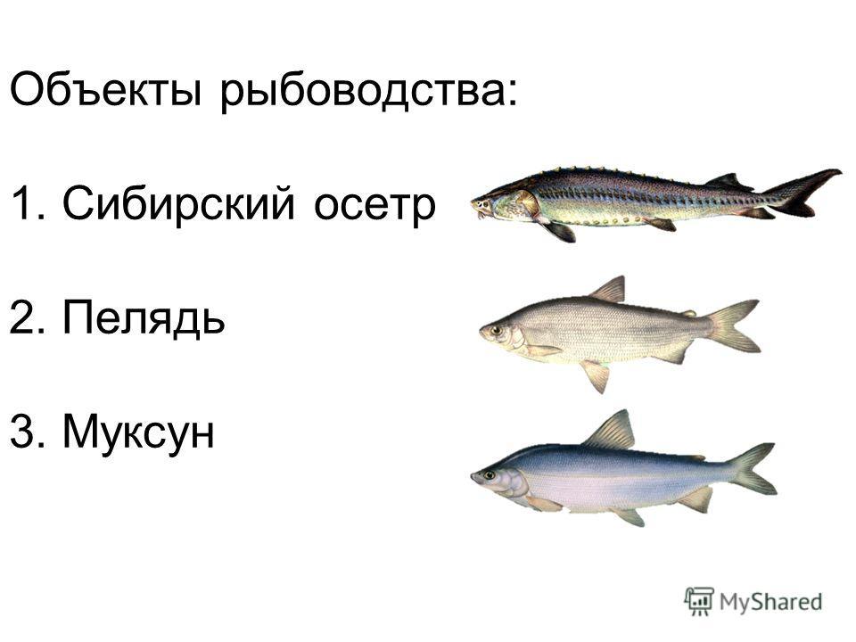 Объекты рыбоводства: 1. Сибирский осетр 2. Пелядь 3. Муксун