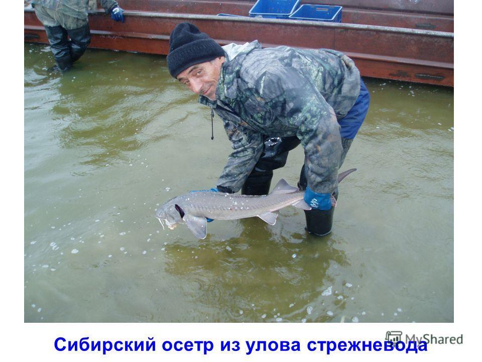 Сибирский осетр из улова стрежневода