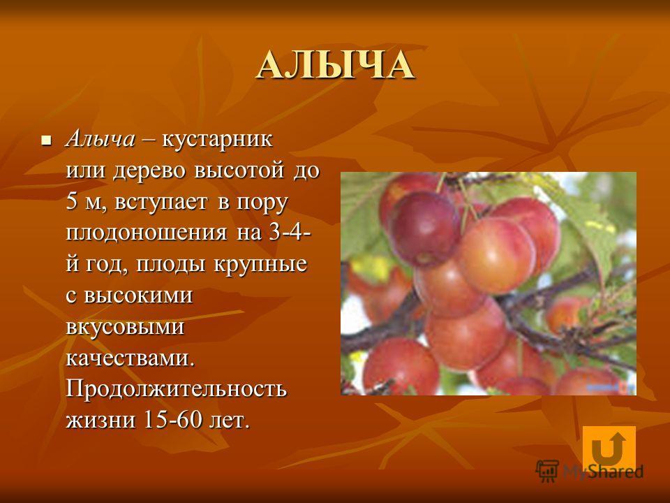 АЛЫЧА Алыча – кустарник или дерево высотой до 5 м, вступает в пору плодоношения на 3-4- й год, плоды крупные с высокими вкусовыми качествами. Продолжительность жизни 15-60 лет. Алыча – кустарник или дерево высотой до 5 м, вступает в пору плодоношения