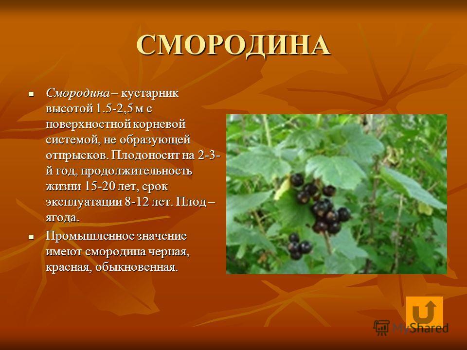 СМОРОДИНА Смородина – кустарник высотой 1.5-2,5 м с поверхностной корневой системой, не образующей отпрысков. Плодоносит на 2-3- й год, продолжительность жизни 15-20 лет, срок эксплуатации 8-12 лет. Плод – ягода. Смородина – кустарник высотой 1.5-2,5