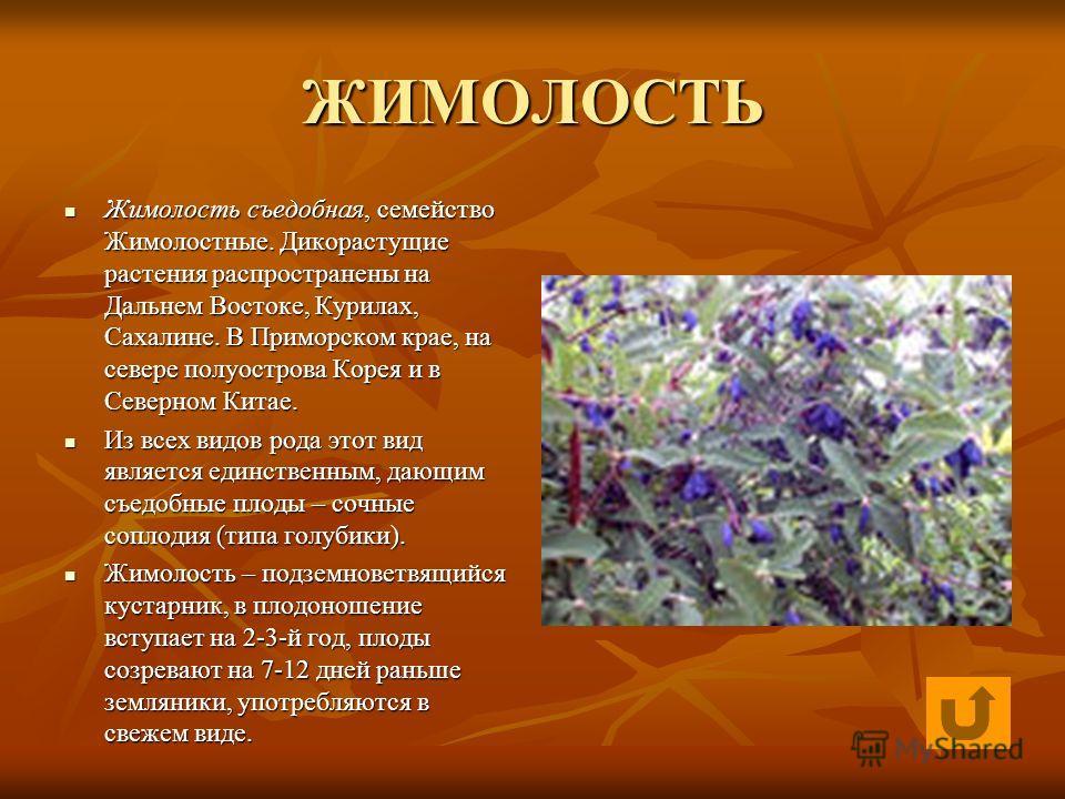 ЖИМОЛОСТЬ Жимолость съедобная, семейство Жимолостные. Дикорастущие растения распространены на Дальнем Востоке, Курилах, Сахалине. В Приморском крае, на севере полуострова Корея и в Северном Китае. Жимолость съедобная, семейство Жимолостные. Дикорасту
