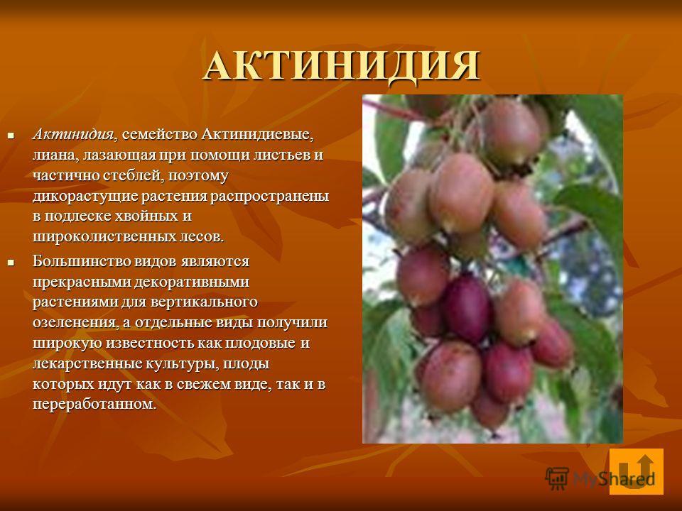 АКТИНИДИЯ Актинидия, семейство Актинидиевые, лиана, лазающая при помощи листьев и частично стеблей, поэтому дикорастущие растения распространены в подлеске хвойных и широколиственных лесов. Актинидия, семейство Актинидиевые, лиана, лазающая при помощ