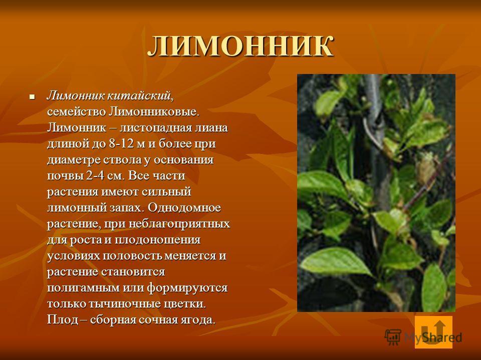 ЛИМОННИК Лимонник китайский, семейство Лимонниковые. Лимонник – листопадная лиана длиной до 8-12 м и более при диаметре ствола у основания почвы 2-4 см. Все части растения имеют сильный лимонный запах. Однодомное растение, при неблагоприятных для рос