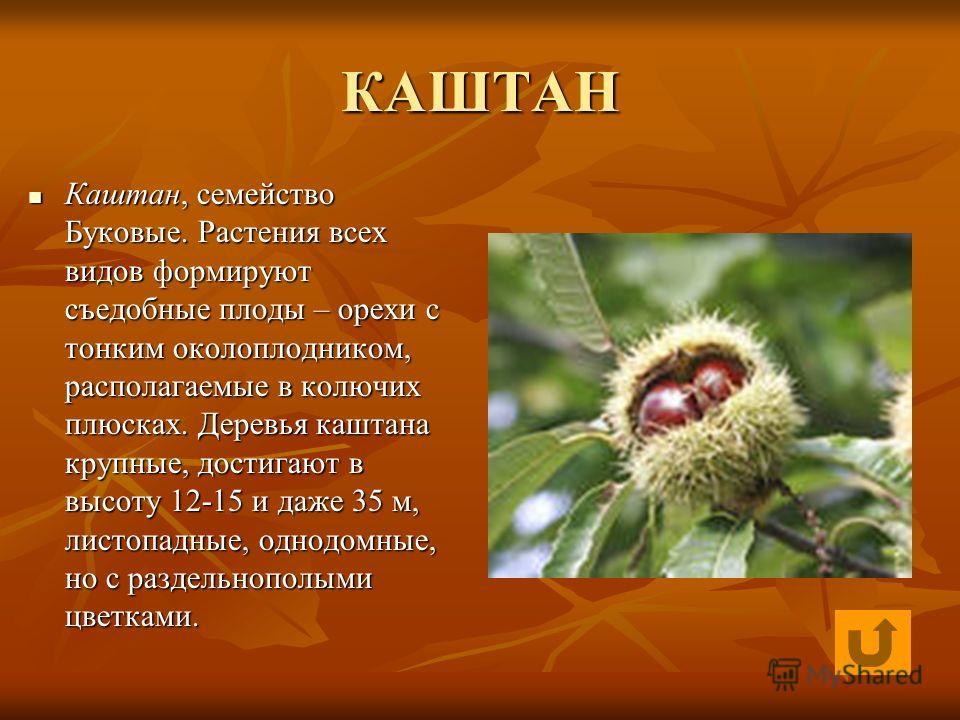КАШТАН Каштан, семейство Буковые. Растения всех видов формируют съедобные плоды – орехи с тонким околоплодником, располагаемые в колючих плюсках. Деревья каштана крупные, достигают в высоту 12-15 и даже 35 м, листопадные, однодомные, но с раздельнопо