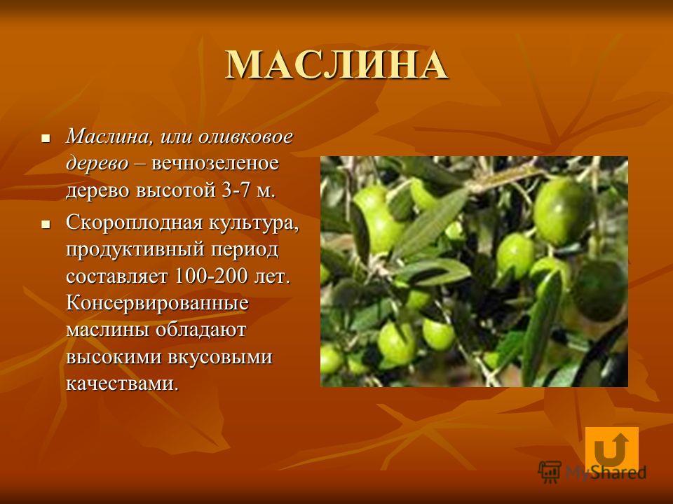 МАСЛИНА Маслина, или оливковое дерево – вечнозеленое дерево высотой 3-7 м. Маслина, или оливковое дерево – вечнозеленое дерево высотой 3-7 м. Скороплодная культура, продуктивный период составляет 100-200 лет. Консервированные маслины обладают высоким