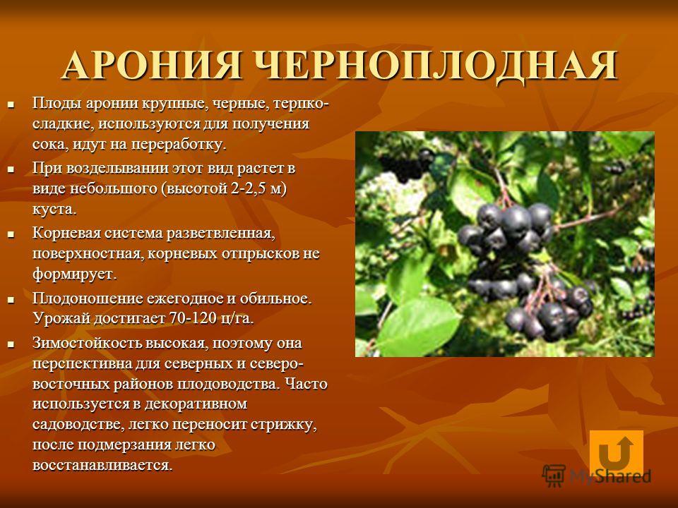 АРОНИЯ ЧЕРНОПЛОДНАЯ Плоды аронии крупные, черные, терпко- сладкие, используются для получения сока, идут на переработку. Плоды аронии крупные, черные, терпко- сладкие, используются для получения сока, идут на переработку. При возделывании этот вид ра