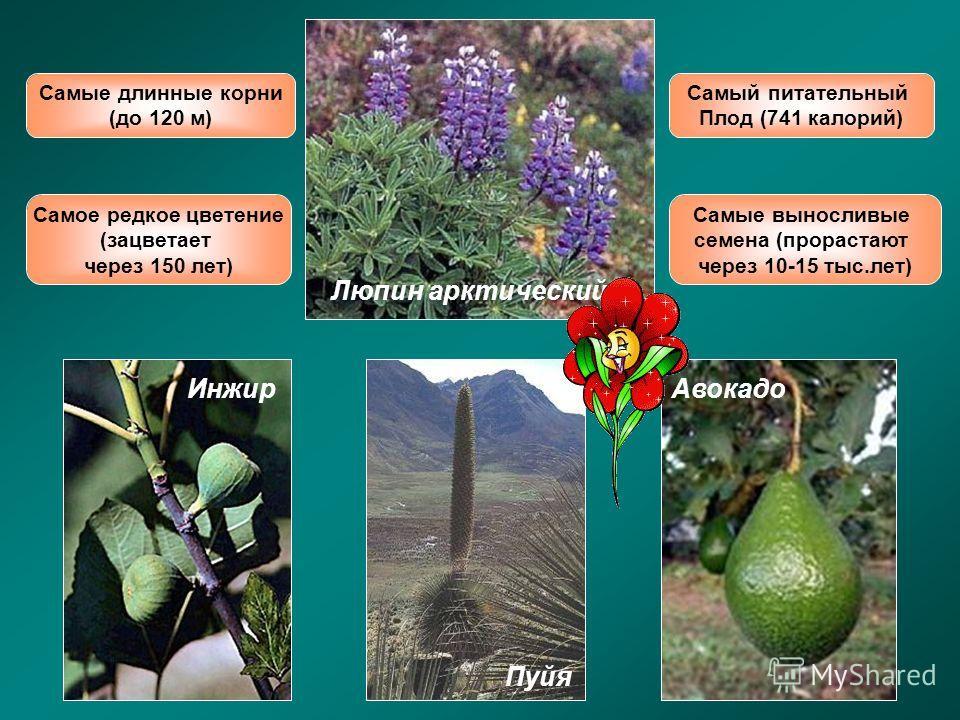 Самый питательный Плод (741 калорий) Самое редкое цветение (зацветает через 150 лет) Самые выносливые семена (прорастают через 10-15 тыс.лет) Самые длинные корни (до 120 м) Люпин арктический ИнжирАвокадо Пуйя