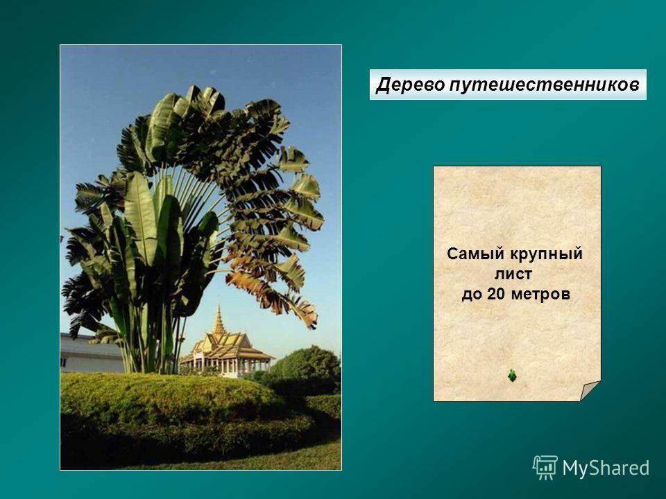 Дерево путешественников Самый крупный лист до 20 метров